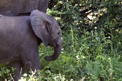 African bush elephant baby (Loxodonta africana) Royalty Free Stock Photography