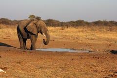 African bush elephant. Elephant bull at waterhole,african bush elephant loxodonta africana Royalty Free Stock Image