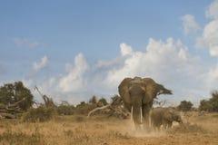 African Bush Elephant and calf Stock Photos
