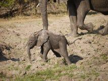 African bush elephant. Calf (Loxodonta africana) in Zambia royalty free stock photography