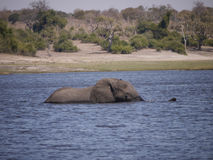 African bush elephant crossing Chobe river. African bush elephant (Loxodonta africana) in Botswana stock photography