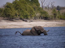 African bush elephant crossing Chobe river Stock Photo