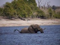 African bush elephant crossing Chobe river. African bush elephant (Loxodonta africana) in Botswana stock photo