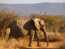 African bush elephant a crossing dirt road Royalty Free Stock Photos