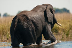 African bush elephant crossing river Royalty Free Stock Photos