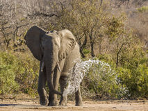 African bush elephant drinking in the riverbank,, kruger park Stock Image
