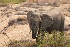 African bush elephant eating Stock Photos