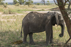 African Bush elephant Royalty Free Stock Images