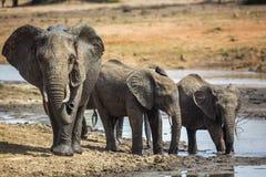 African bush elephant in Kruger National park, South Africa. African bush elephant family drinking in waterhole in Kruger National park, South Africa ; Specie stock images