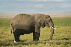 African Bush Elephant. African elephant feeding in savannah of  Amboseli, Kenya Stock Photos