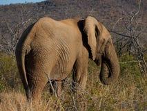 African bush elephant Royalty Free Stock Photo