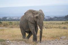 African Bush Elephant Stock Image