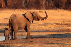 African bush elephant. Female african bush elephant Loxodonta africana with baby elephant at a water source Stock Image