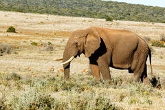 African Bush Elephant with his trunk in the grass. Stock Photo