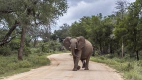 Free African Bush Elephant In Kruger National Park, South Africa Stock Photography - 160528282