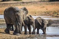 African bush elephant in Kruger National park, South Africa. African bush elephant family drinking in waterhole in Kruger National park, South Africa ; Specie stock image