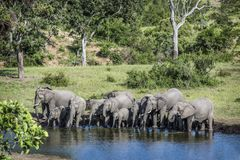 African bush elephant in Kruger National park, South Africa royalty free stock image