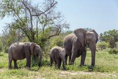 African bush elephant in Kruger National park, South Africa stock image