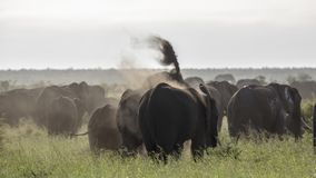 African bush elephant in Kruger National park, South Africa royalty free stock photography