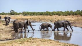 African bush elephant in Kruger National park, South Africa. African bush elephant herd crossing river in Kruger National park, South Africa ; Specie Loxodonta royalty free stock photos