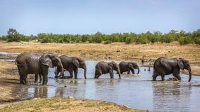 African bush elephant in Kruger National park, South Africa. African bush elephant herd crossing river in Kruger National park, South Africa ; Specie Loxodonta royalty free stock photo