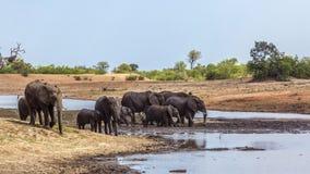 African bush elephant in Kruger National park, South Africa. African bush elephant herd in lake side in Kruger National park, South Africa ; Specie Loxodonta stock photo