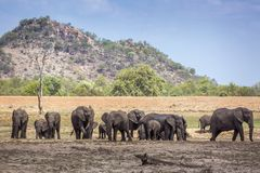 African bush elephant in Kruger National park, South Africa. African bush elephant herd in Kruger National park scenery, South Africa ; Specie Loxodonta africana royalty free stock image