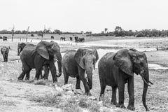 African bush elephant in Kruger National park, South Africa. African bush elephant scenery in black and white in Kruger National park, South Africa ; Specie royalty free stock images