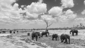 African bush elephant in Kruger National park, South Africa. African bush elephant scenery in black and white in Kruger National park, South Africa ; Specie stock photography