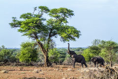 African bush elephant in Kruger National park, South Africa Stock Photos