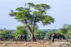 African bush elephant in Kruger National park, South Africa Royalty Free Stock Images