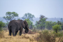 African bush elephant in Kruger National park, South Africa Stock Photography