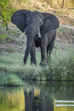 African bush elephant in Kruger National park, South Africa Royalty Free Stock Photos