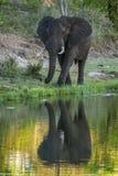 African bush elephant in Kruger National park, South Africa Stock Images