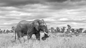 African bush elephant in Kruger National park, South Africa. African bush elephant walking in savannah in black and white in Kruger National park, South Africa royalty free stock photo