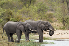 African bush elephant in Kruger National park Royalty Free Stock Photos