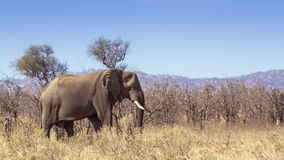 African bush elephant in Kruger National park Stock Photos