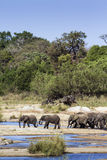 African bush elephant in Kruger National park Stock Photography