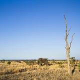 African bush elephant in Kruger National park Royalty Free Stock Images