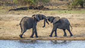 African bush elephant in Kruger National park. Specie Loxodonta africana family of Elephantidae, African bush elephants mating in Kruger National park Stock Image