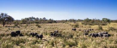 African bush elephant in Kruger National park Stock Image