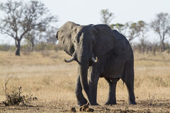 African bush elephant in Kruger National park Royalty Free Stock Photo