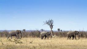 African bush elephant in Kruger National park Stock Photo
