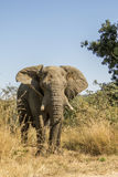 African bush elephant in Kruger Park, South Africa Stock Photos