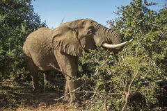 African bush elephant in Kruger Park, South Africa Royalty Free Stock Images