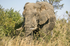 African bush elephant in Kruger Park, South Africa Stock Photo