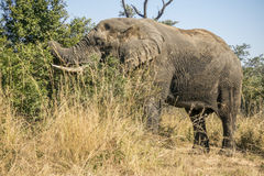 African bush elephant in Kruger Park, South Africa Stock Photography