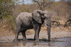 African bush elephant. By a lake stock photos