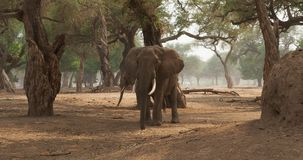 African bush elephant - Loxodonta africana adult elephant picking and eating leaves from the trees in Mana Pools in Zimbabwe. stock footage
