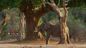 African Bush Elephant - Loxodonta africana adult elephant picking and eating leaves from the trees in Mana Pools in Zimbabwe stock footage